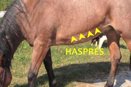 Hasprés lovaknál